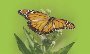 La migración de la mariposa monarca se encuentra en peligro